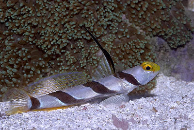 Blackray Shrimp Goby