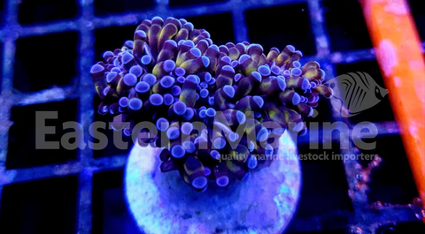 Gold Grape Coral Frag