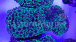 Branching Hammer Coral - 100221