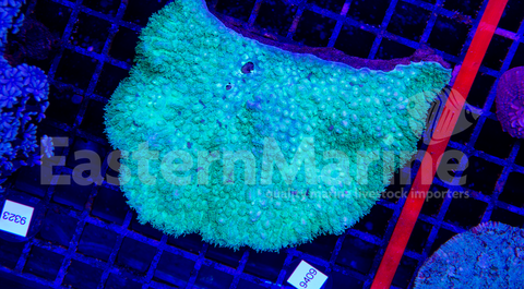 Toxic Green Hydnophora Coral