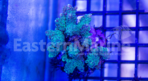 Indonesian Acro Coral