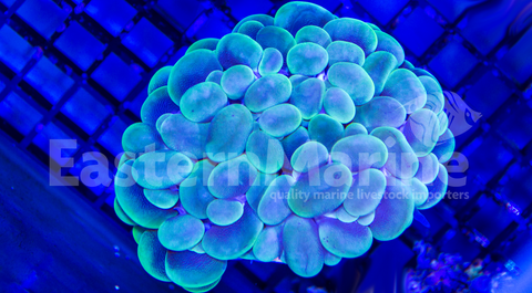 Indonesian Green Bubble Coral
