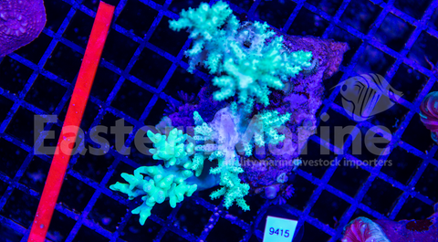 Toxic Green Finger Leather Coral
