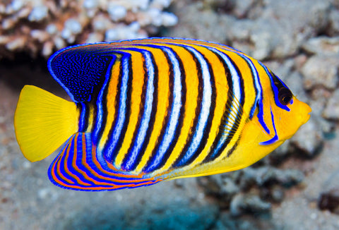 Regal Angelfish (Red Sea)