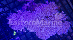 Pulsing Xenia Coral