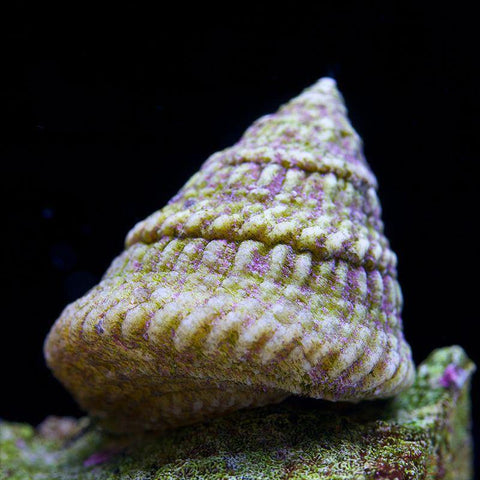 Astraea Turbo Snail