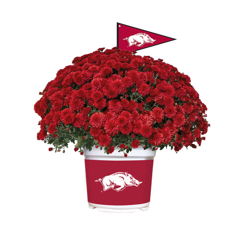Arkansas Razorbacks - Team Color Mum