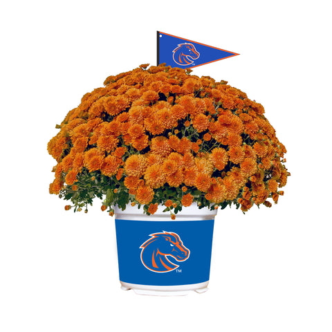 Boise State Broncos - Team Color Mum