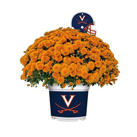 Virginia Cavaliers - Team Color Mum