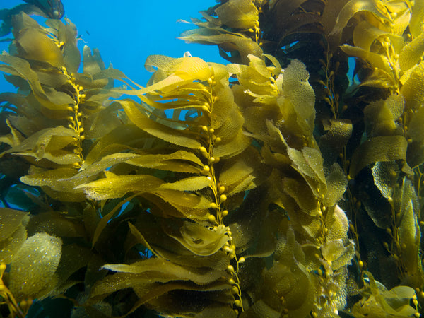 kelp monterey bay national marine sanctuary