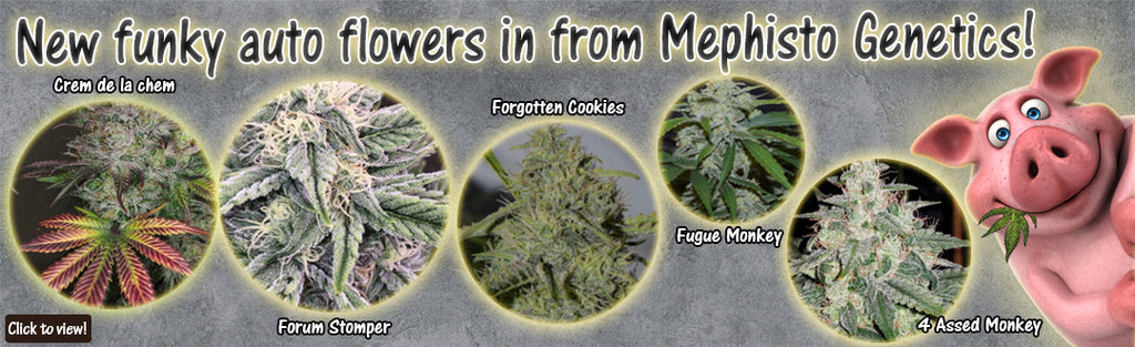 New funky auto flowers in from Mephisto Genetics!