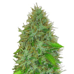 Auto 2 Fast 2 Vast Feminised Seeds