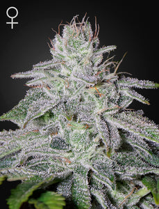 Franco's Lemon Cheese Feminised Seeds