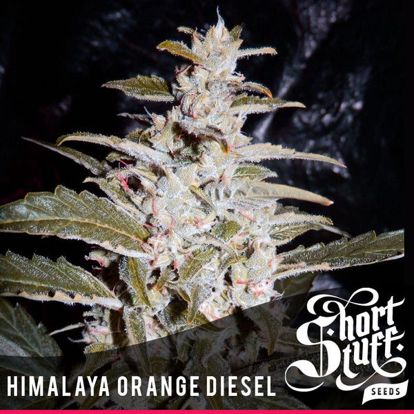 Himalaya Orange Diesel Auto ♀