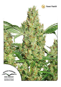 Power Plant Feminised Seeds