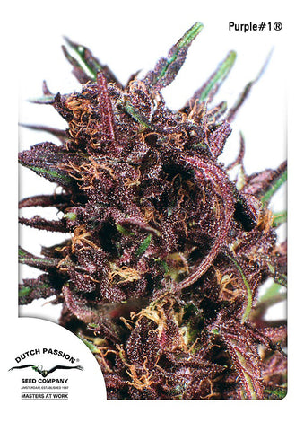 Purple #1 Feminised Seeds