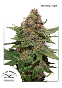 Strawberry Cough Feminised Seeds