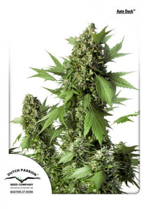 Auto Duck Feminised Seeds