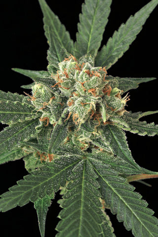 Blue Monkey Feminised Seeds