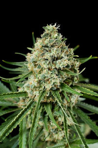 Critical+ 2.0 Feminised Seeds