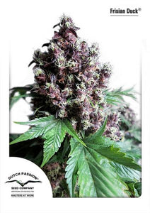 Frisian Duck Feminised Seeds