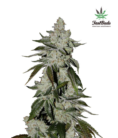 Girl Scout Cookies Autoflowering Feminised Seeds