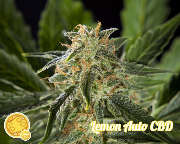 Lemon Auto CBD Feminised Seeds