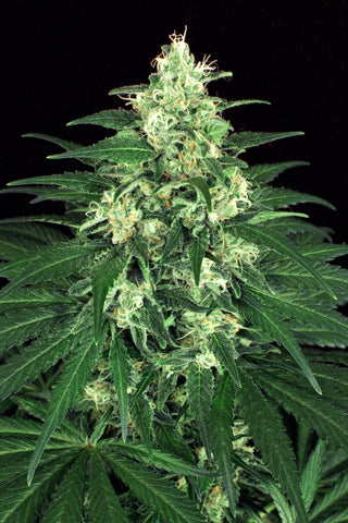 Lemon Candy Feminised Seeds