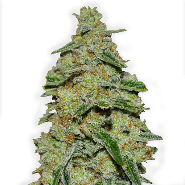 Lemon Cake Feminised Seeds