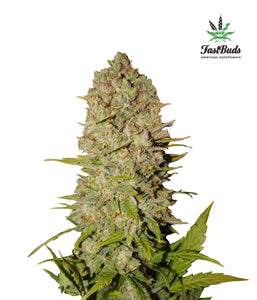 Pineapple Express Autoflowering Feminised Seeds