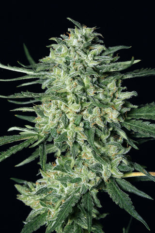 Quick Mass Feminised Seeds