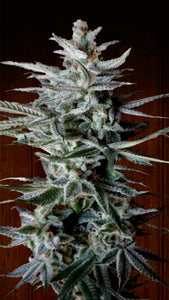 Snow Moon Feminised Seeds