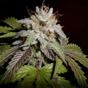 Spannabis Sunset aka Sunset Sherbet Feminised Seeds