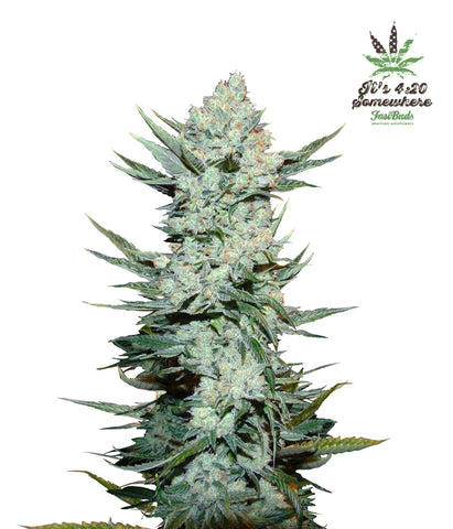 Tangie Matic Autoflowering Feminised Seeds