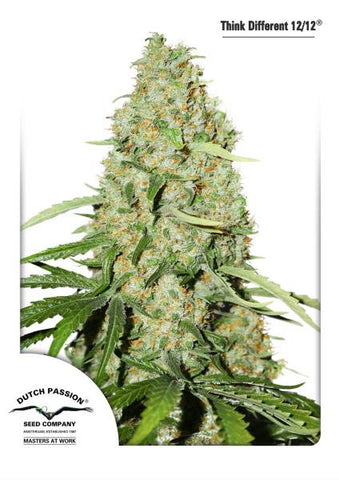 Think Fast Feminised Seeds