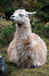 Llamas as Heroes and COVID-19 Antibodies: New Interesting Research