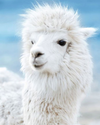 Fun Facts about Llamas and Keen One's August Llama of the Month