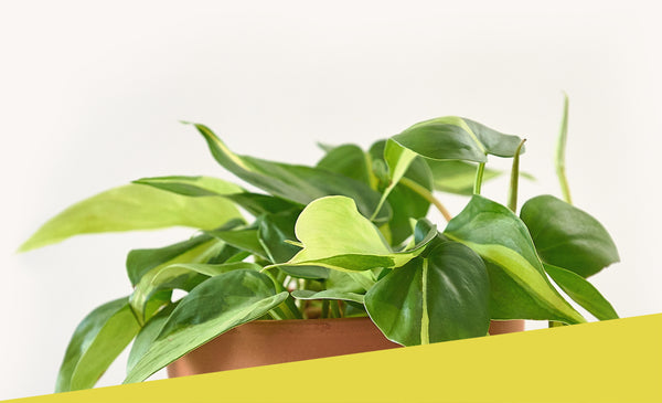 Philodendron // Hederaceum