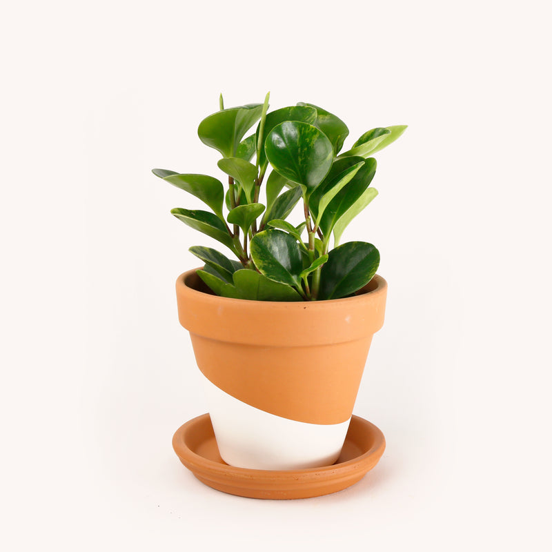 Plant with clay pot