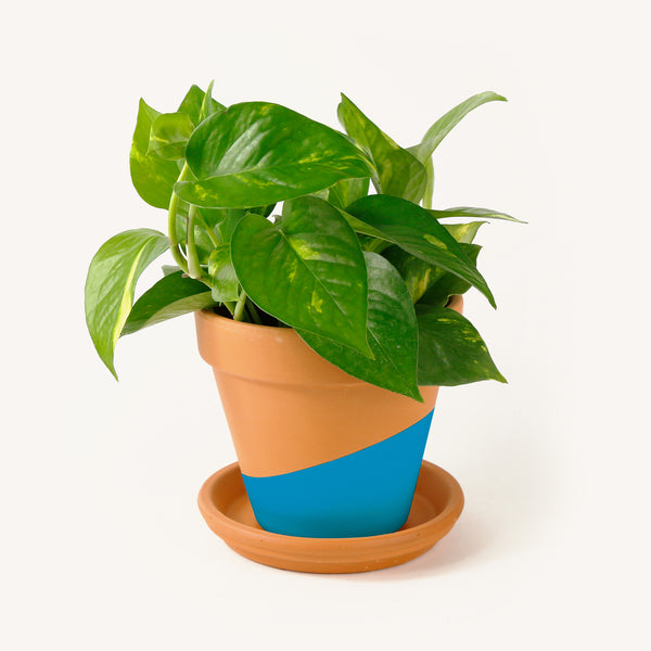 Orbit Pothos