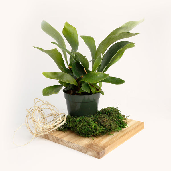 Mount A Staghorn Fern // June 12
