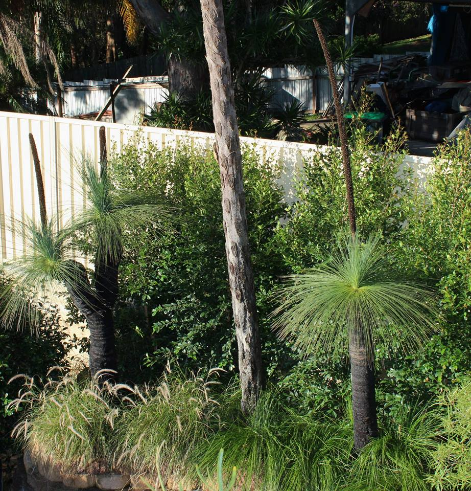 double headed grass tree in garden