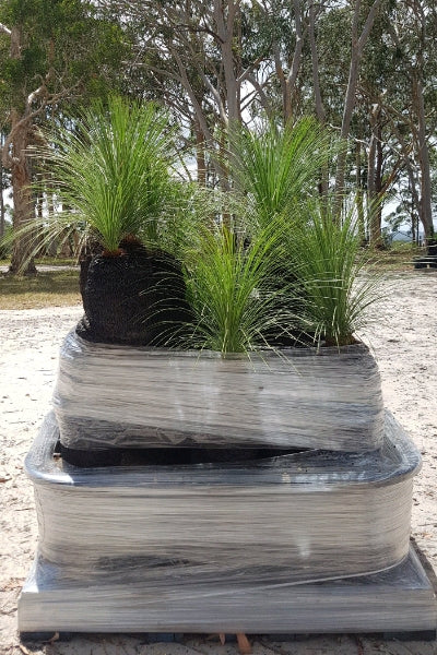 20-30cm Grass Trees - Full Pallet