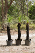 Load image into Gallery viewer, Single trunk grass trees - Xanthorrhoea johnsonii