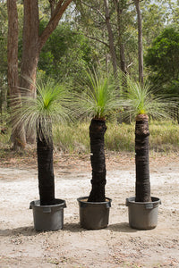 Single trunk grass trees - Xanthorrhoea johnsonii