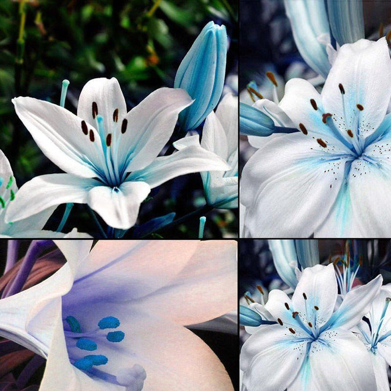 50 Rare Blue Heart Lily Plant Seed Pack