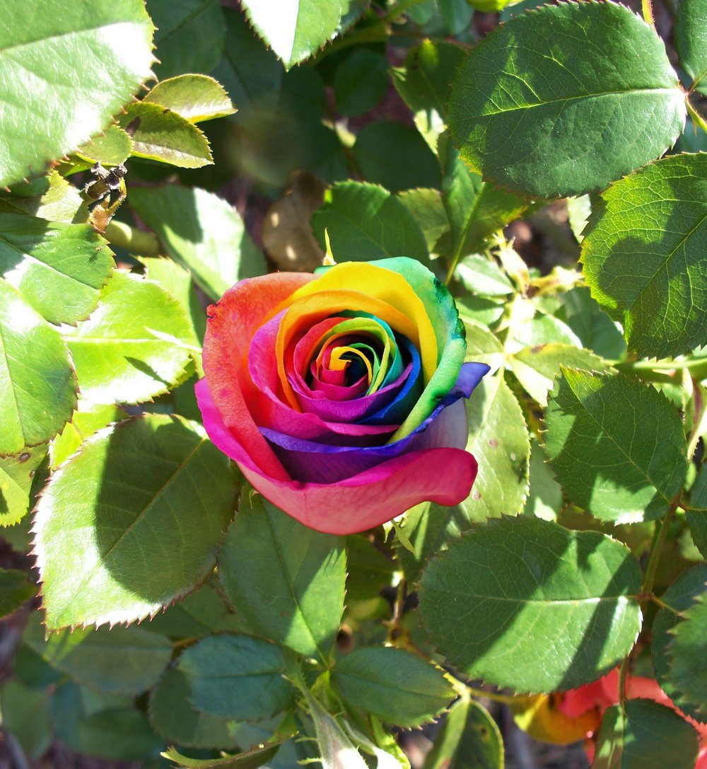 100 rare rainbow rose seed pack shopitty for Growing rainbow roses from seeds