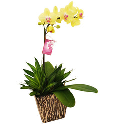 Fabulous Orchidee - Yellow Phalaenopsis Orchid in Pot