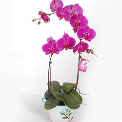 Purple Gundy Phalaenopsis Orchid