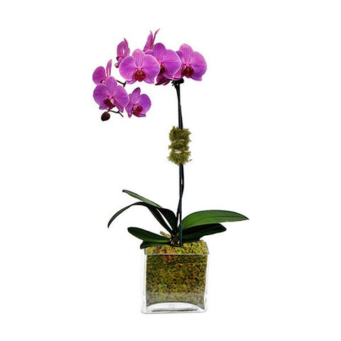Purple Margairlin - Live Orchid Phalaenopsis in Glass